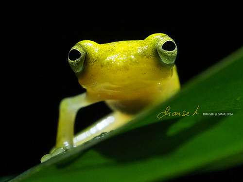 wine colored frog | by dianseh