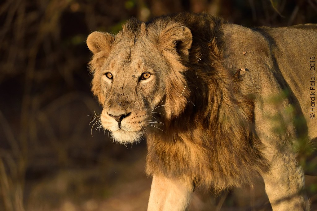 Asiatic Lion Male (7-8 years) Gir National Park, India