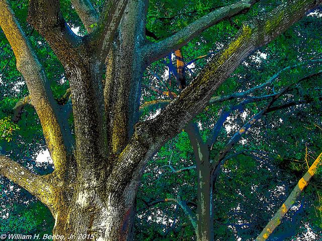 frontyard oaks