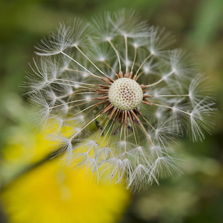 Dandelion SpaceCraft | by Angelia's Photography