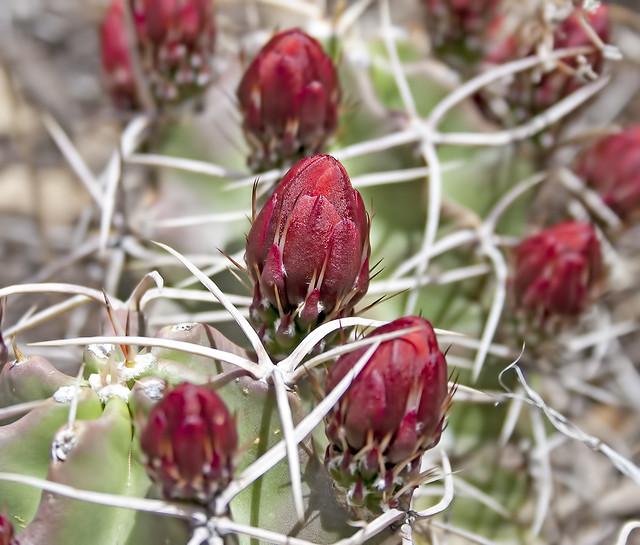 cactus 20d _1612