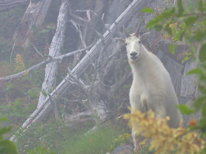 Mountain goat along the Lakes Trail
