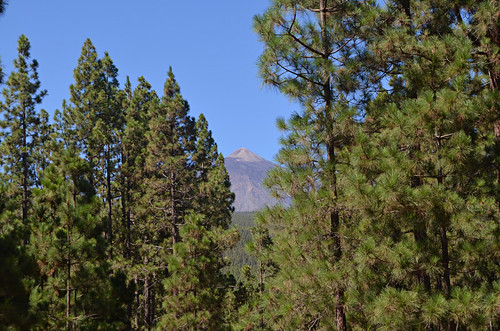 Walking in Orotava Valley pine forest, Tenerife