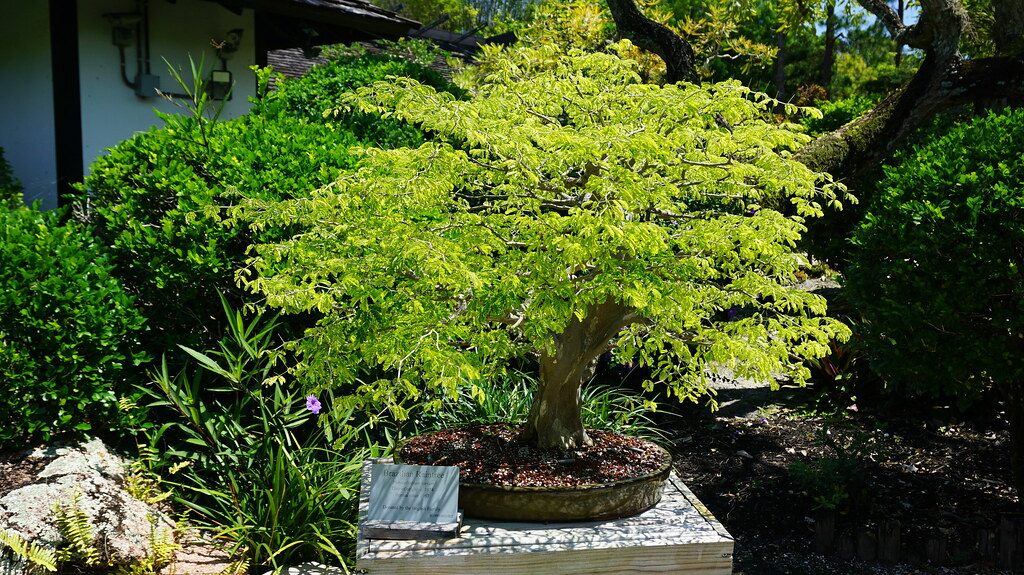 Bonsai brazilian rain tree at Morikami Museum and Japanese… | Flickr