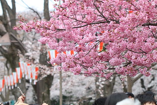 Sakura at Ueno Park | by Usodesita