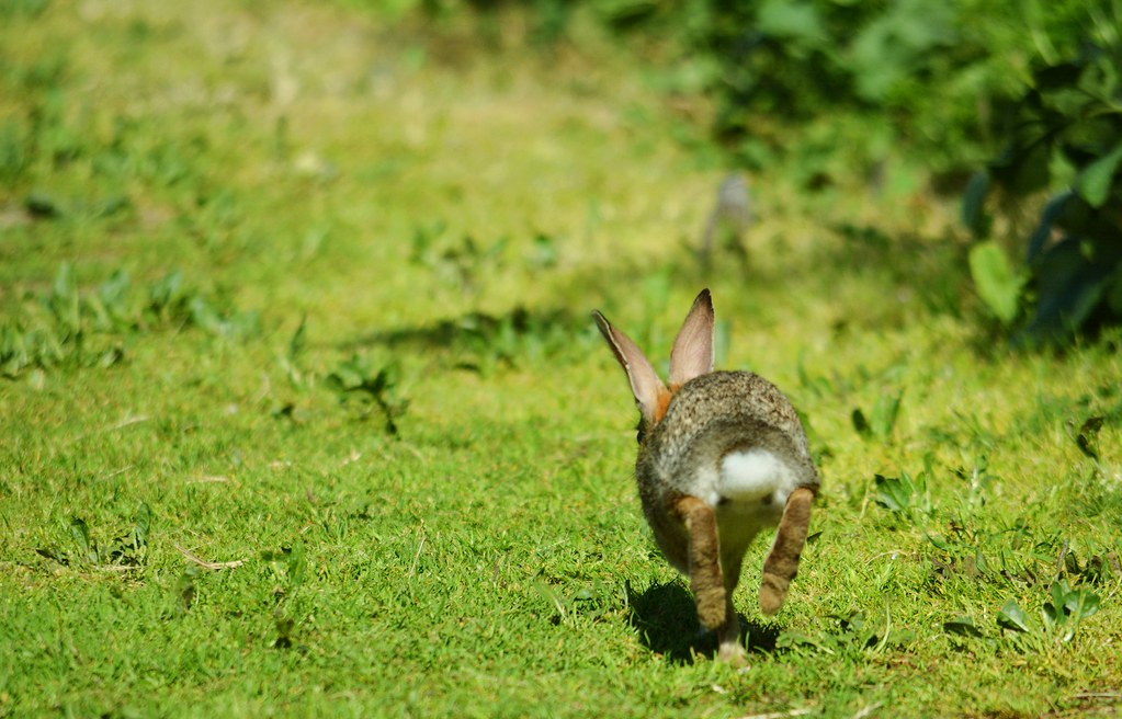 run away cottontail rabbit escapes eric sonstroem flickr
