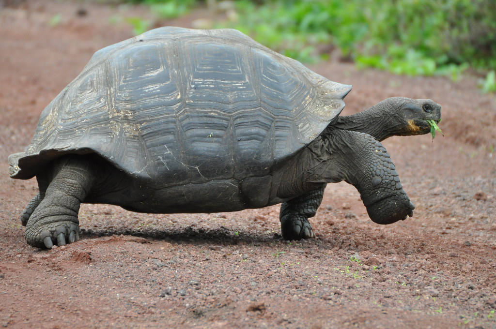 Galapagos Tortoise Walking Along Road 4 Amaury Laporte