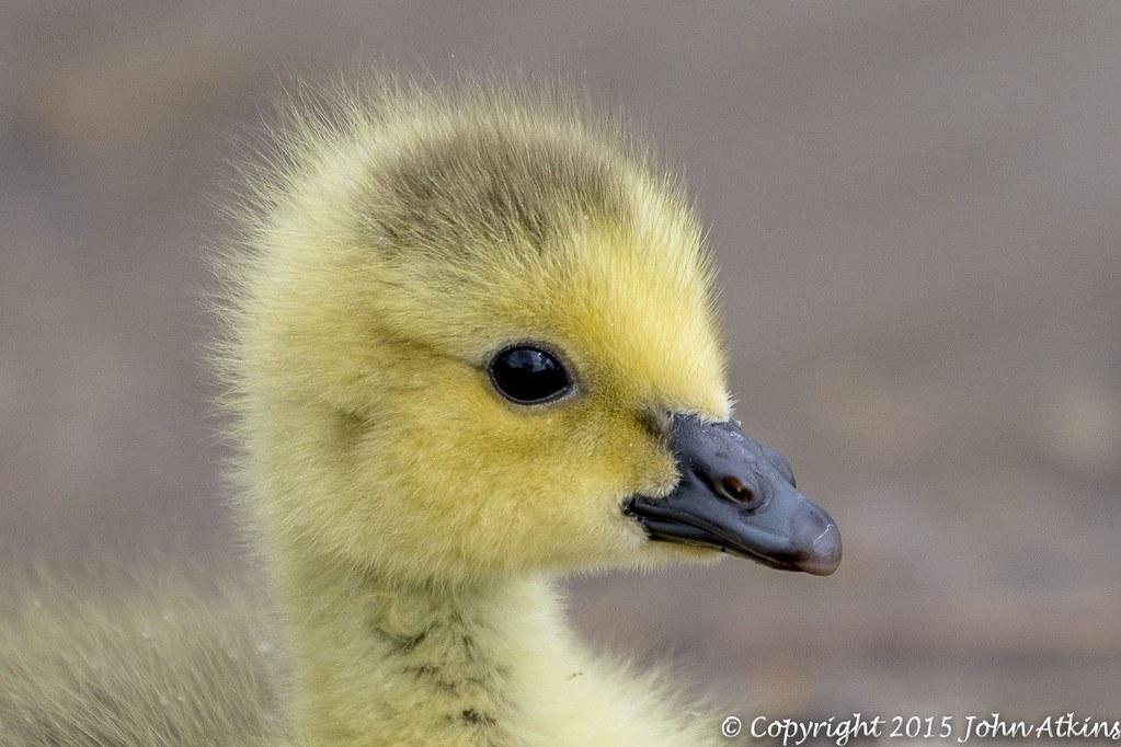 Canada Goose - Gosling at Nene Park Trust 17/05/15