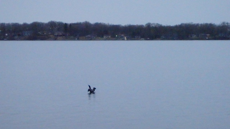 Loon spreading its wings on Lake Andrew