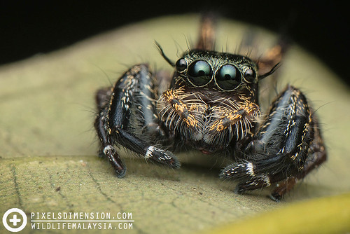 Sub-female Heavy Jumper- Hyllus cf. keratodes ♀ | by PF T.J.