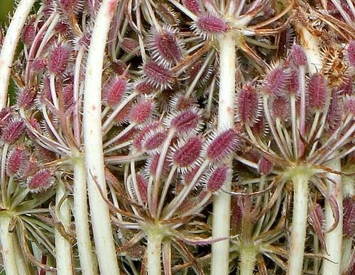 Daucus carotta (6)