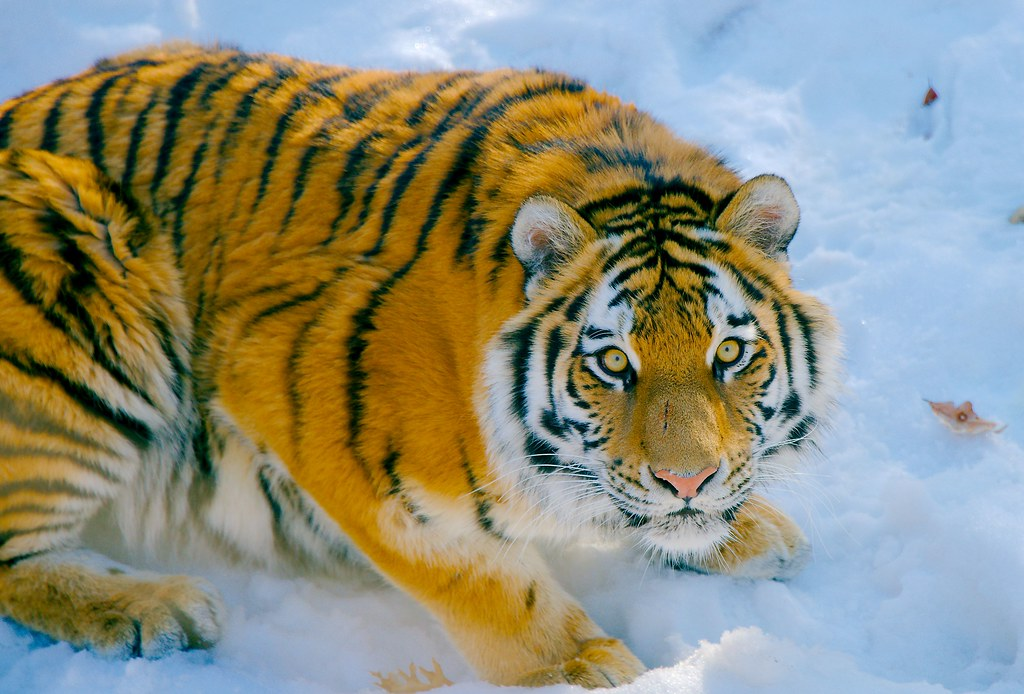 Amur tiger (Panthera tigris altaica)_4