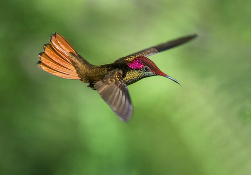 Ruby Topaz Hummingbird in flight. Yerette, Home of the Hum ...  Yerette