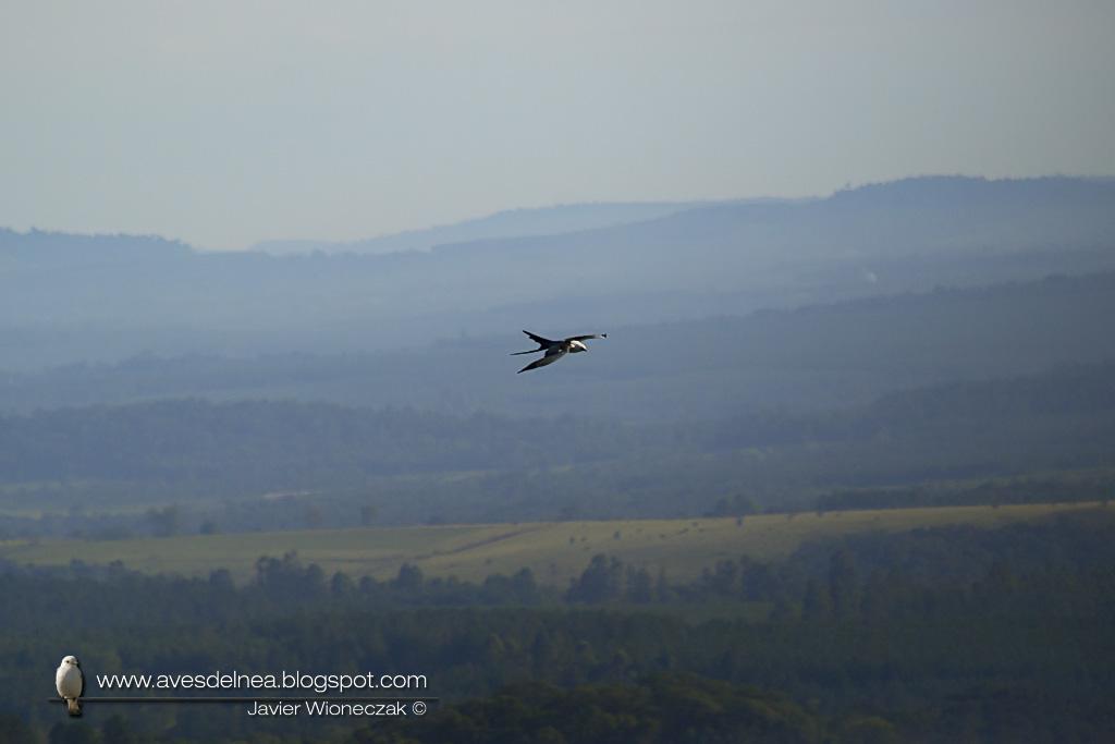 Milano tijereta (Swallow-tailed Kite) Elanoides forficatus