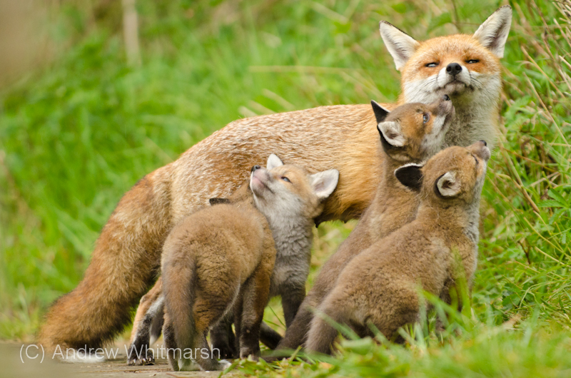 Fox cubs and mum