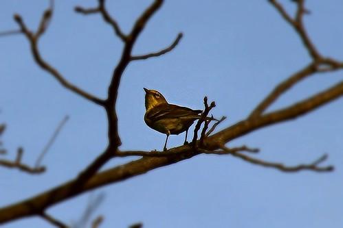 IMG_5342_Pine_Warbler