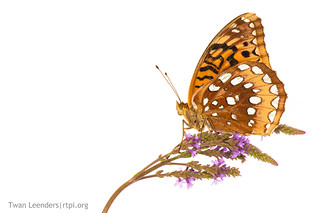 Great Spangled Fritillary (Speyeria cybele) butterfly-9468-2-small-tl