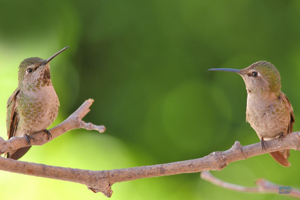 Anna's Hummingbird 032515