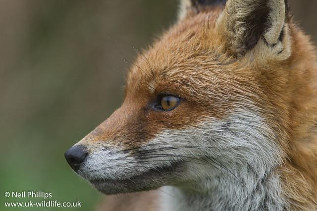 Wet fox-4