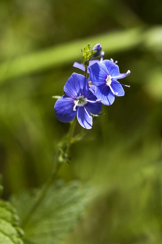 Petites fleurs sauvages  17444043402_913c6be94d_c