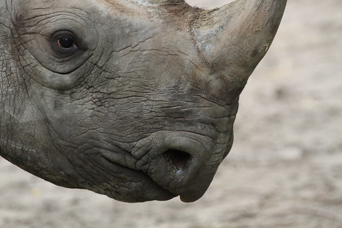 N White Rhino Black Rhino Close-up |...
