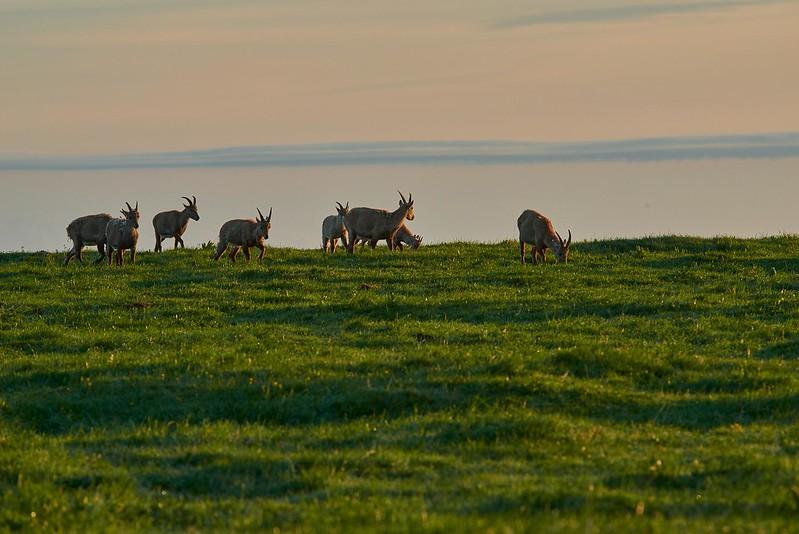 Alpine ibex at dawn - Creux du Van