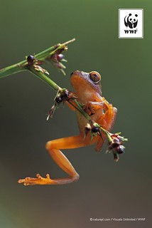 Stunning photograph of a clown tree frog in Peru for ‪#‎PicoftheWeek‬ | by WWF - Global Photo Network