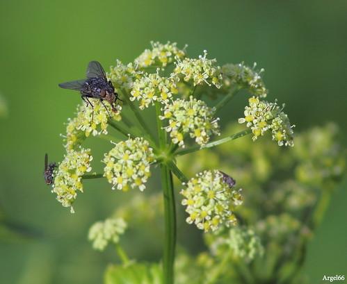 Les mouches elle ne vont que sur cette fleur pourquoi argel66 flickr - Pourquoi les mouches piquent ...