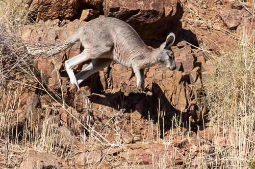 rock wallaby maybe