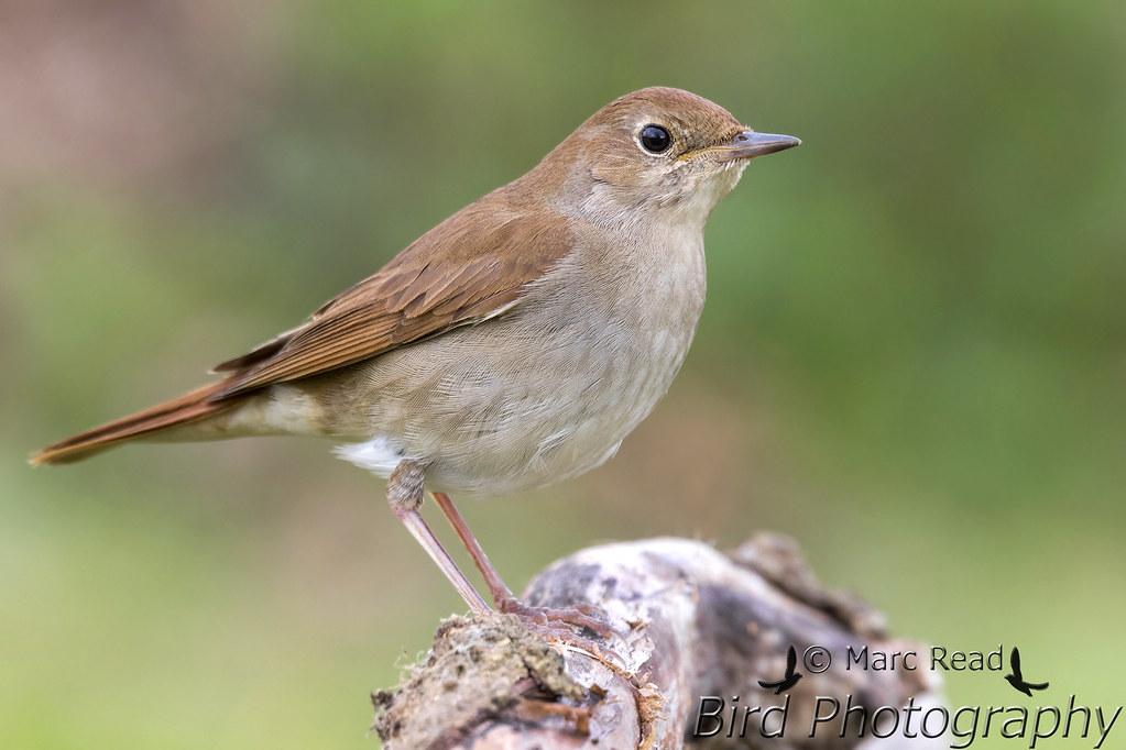 pics for gt nightingale bird
