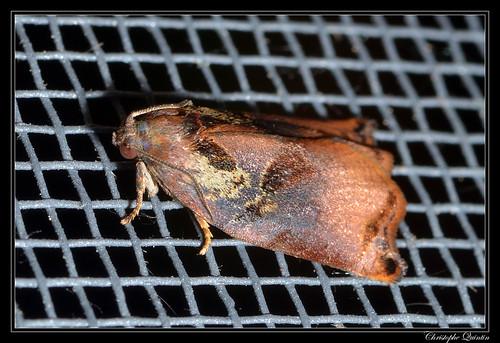 Archips podana mâle