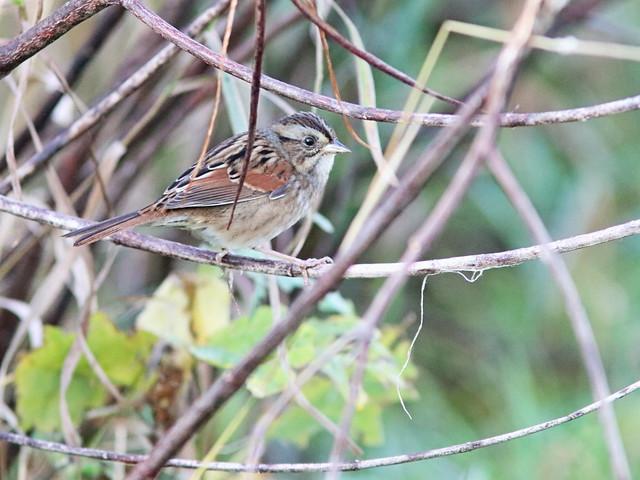 Swamp Sparrow 01-20161007