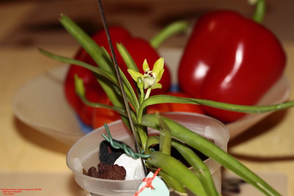 Coelogyne Cristata Orchidee Orchidee Vanda Cristata