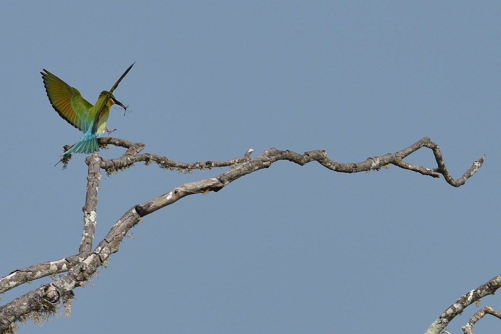 Blue Tailed Bee Eater Sri Lanka Blue Tailed Bee-eater