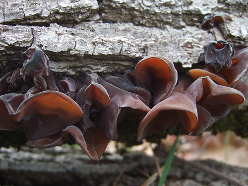 jelly ear mushrooms | by Wendell Smith