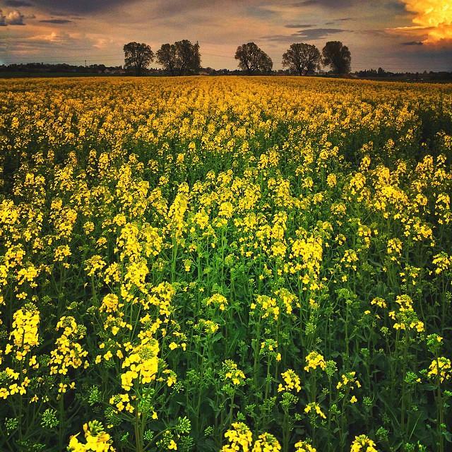 Fields of gold rape plant yellow flowers bloom field flickr fields of gold rape plant yellow flowers bloom field mightylinksfo