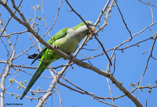 Monk Parakeet / Quaker Parrot | by Beth Fishkind