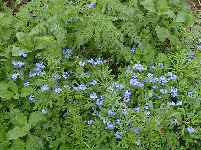 forget-me-nots-river-valley-8may15