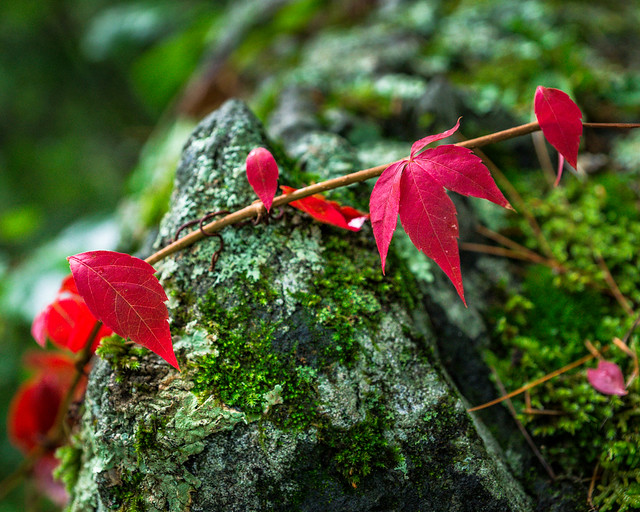 Red, Leaves, Vine, Green, Moss