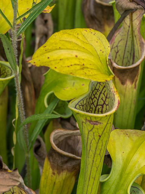 Green Pitcher Plants