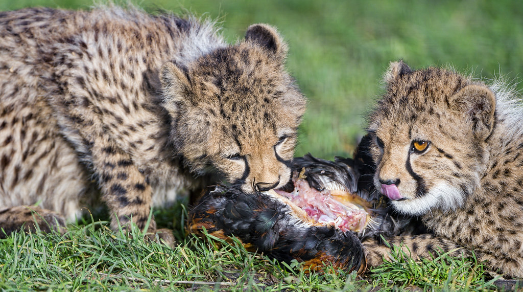 What Do Jaguars Eat >> Eating cheetah cubs | Two cheetah cubs eating from a hen. | Tambako The Jaguar | Flickr