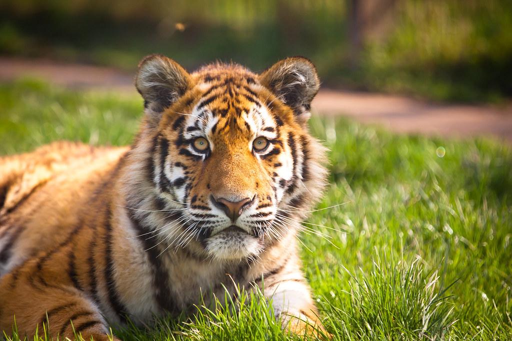 Extinct Tigers