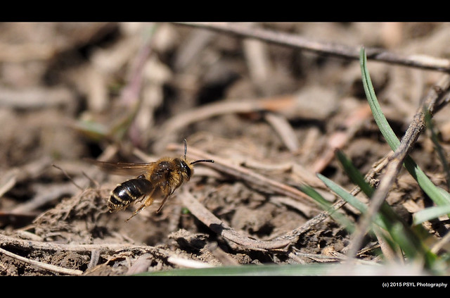 Flying Andrena