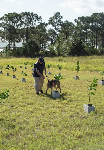 A canine detector team for citrus greening