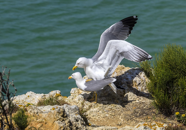 yellow-legged gulls 456 (386)