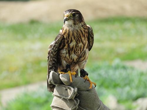 Merlin, East Fork Birding Festival 2015