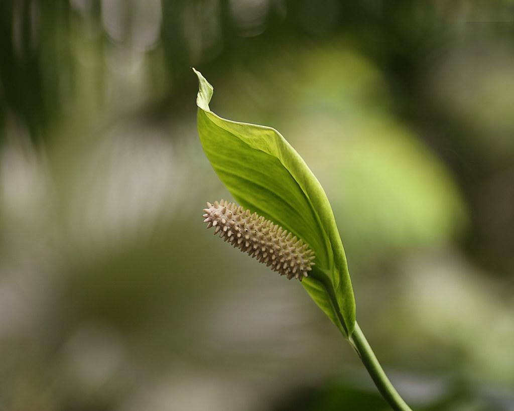 Peace Lily Spathiphyllum Wallisii V Flickr