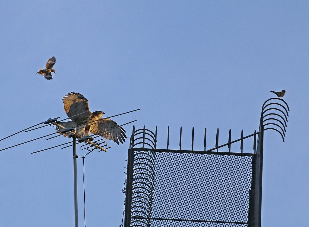 Hawk fledgling with mockingbird and robin