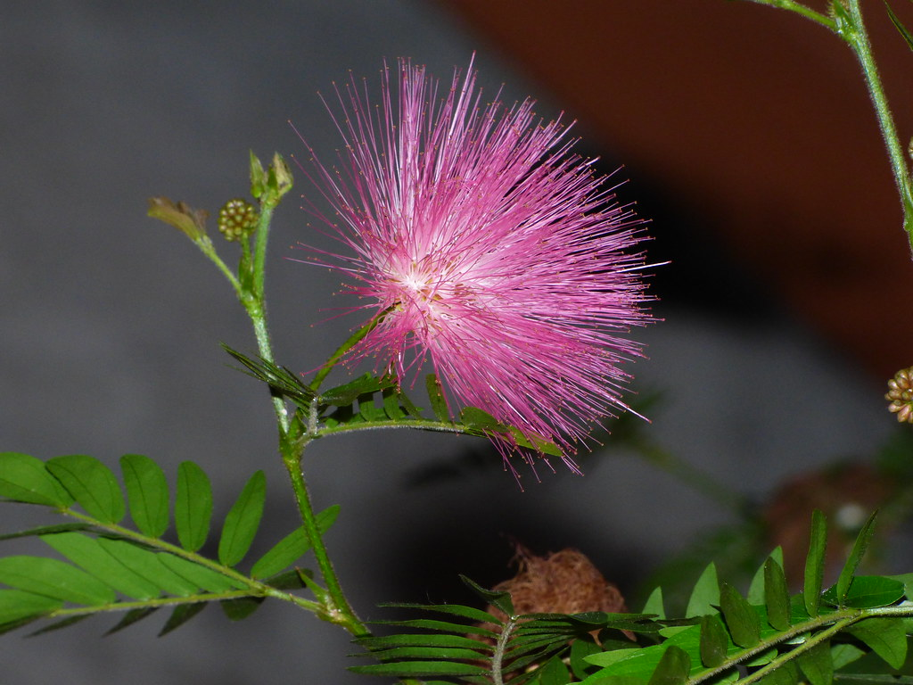 Pink Spiky Flower At Tower Hill Botanic Garden Winter Re
