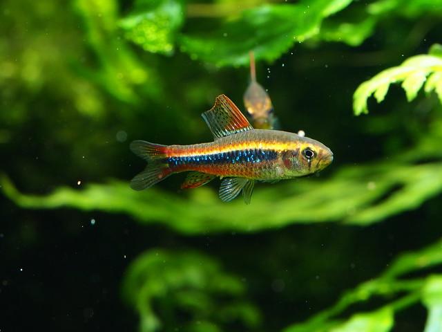 P5010878 珍珠燈魚